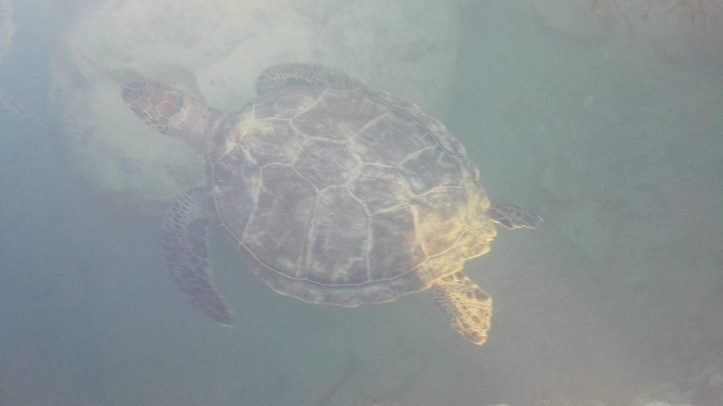 ルネッサンスリゾートオキナワのウミガメ